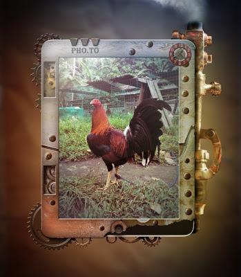 gallo kelso rojo