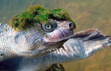 Mary river turtle algae - photo#44