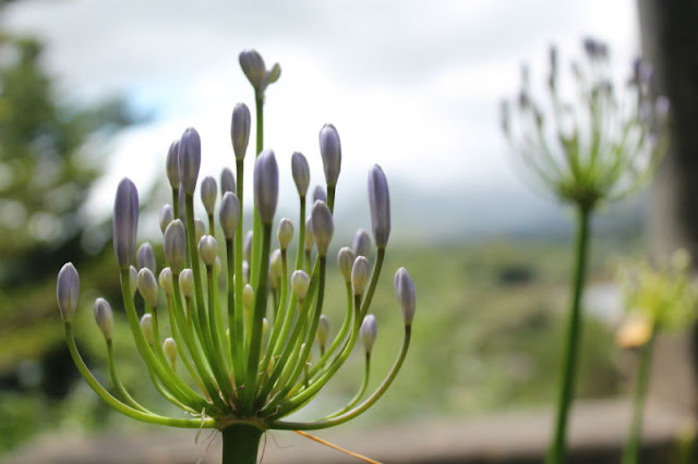 Garnish Island Allium