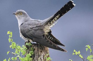 cuckoo arriving in Spring looking for a suitable nest