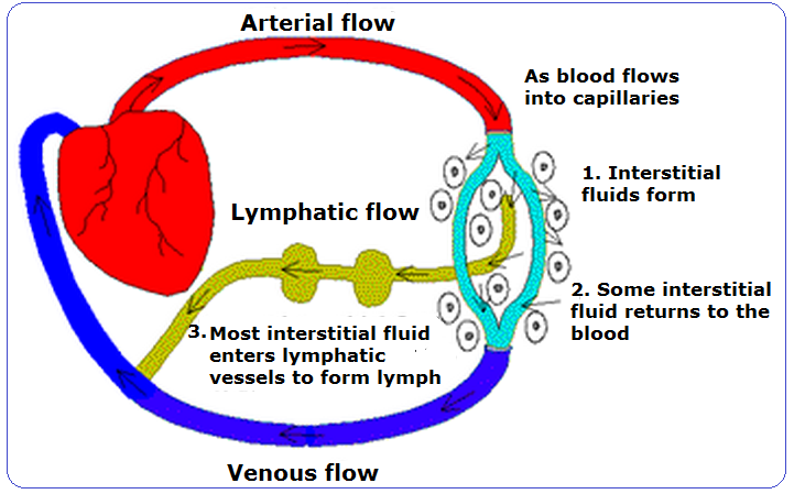 relationship between interstitial fluid and lymph