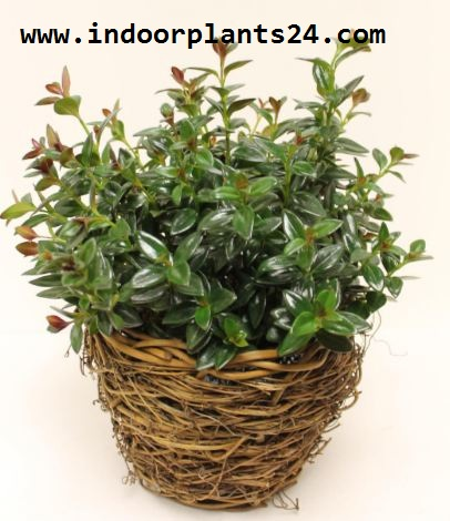 Nematanthus GOLDFISH PLANT house plant