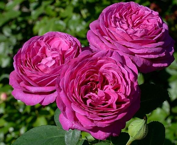 Heidi Klum   сорт розы Тантау фото купить Минск саженцы