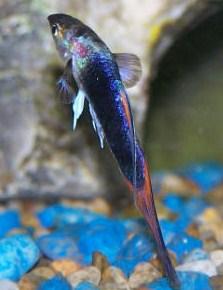 penyakit kutu jangkar ikan guppy