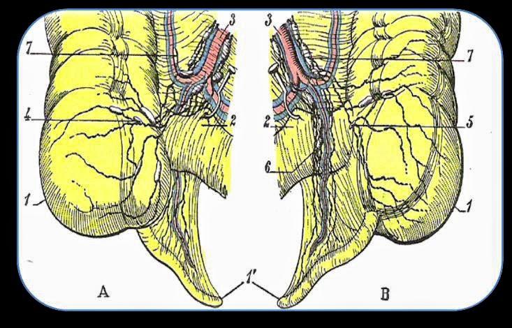 DR. JUAN HERNÁNDEZ ORDUÑA. : Anatomía quirúrgica del apéndice texto