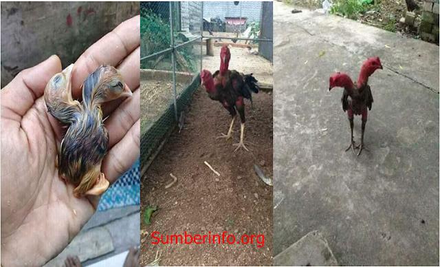 Ayam Berkepala Dua Milik Remaja Kalimantan Ini Mendapatkan Tawaran Sebesar 50Juta