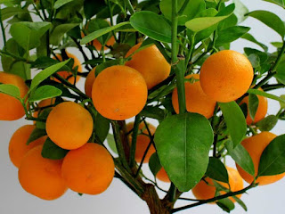 Mandarin Fruit pictures