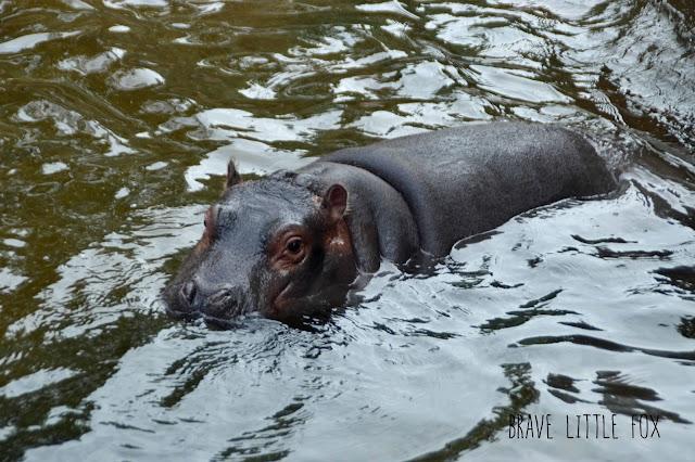 Flusspferde Erlebnis-Zoo Hannover