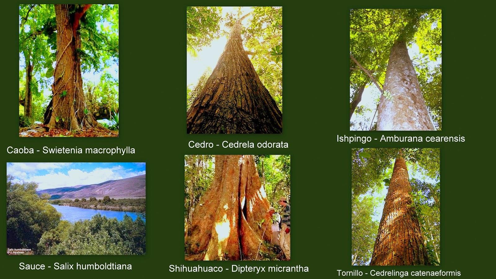 Animales y plantas de per especies forestales del per for Plantas forestales