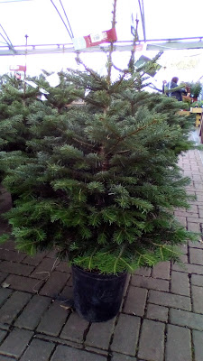 Grow your own Christmas tree Green Fingered Blog