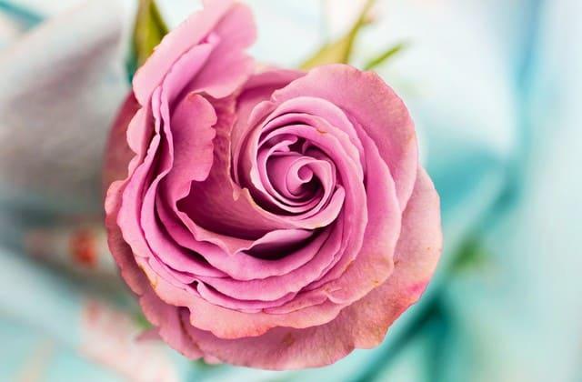 setangkai bunga mawar pink indah