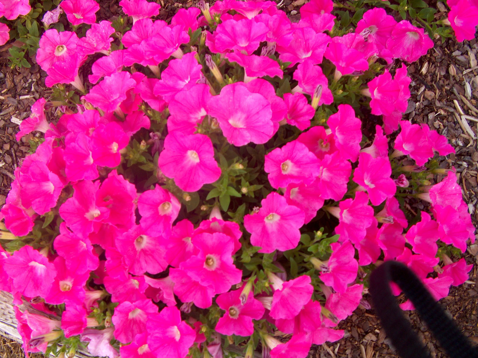 wallpapers pink petunia flowers wallpapers