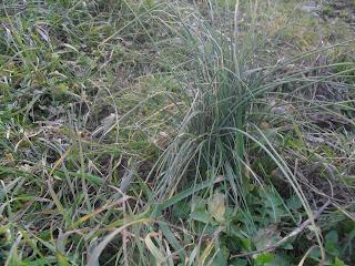 raccolta erbe spontanee,erba cipollina