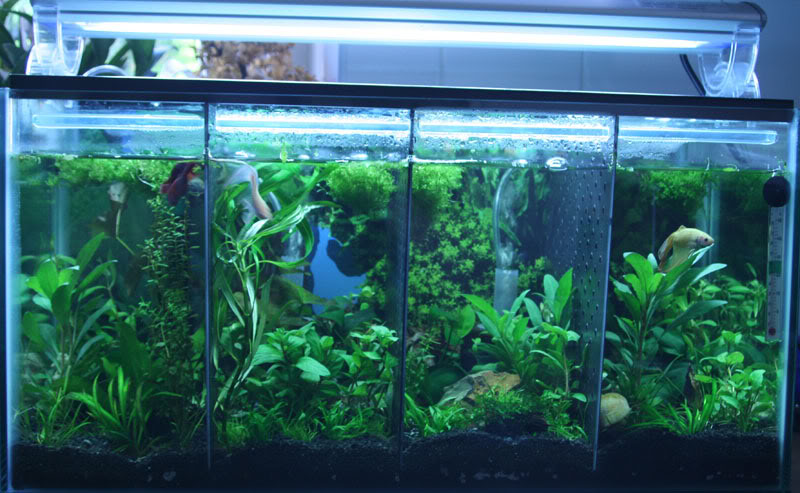 Siamese Fighting Fish Fish Habitat And Ecology