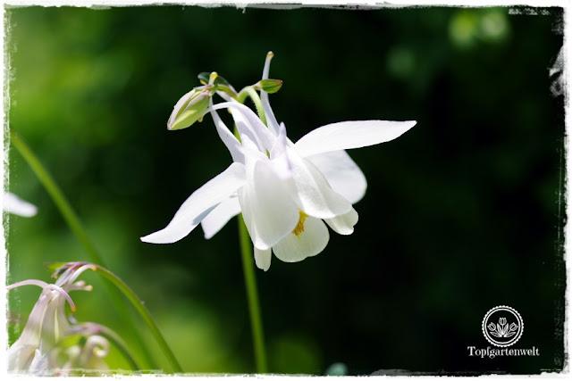 Gartenblog Topfgartenwelt Mein Frühlingsgarten: weiße Akelei im Gegenlicht