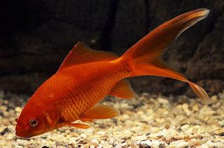 jenis ikan mas komet tercantik merah slayer
