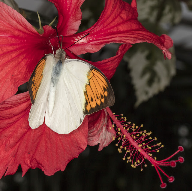 Butterfly, Great Orange Tip, Hebomoia glaucippe, on red flower.  Butterflies in the Glasshouse at RHS Wisley, 26 January 2016