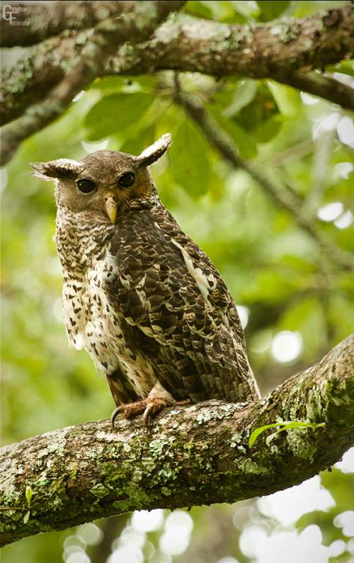 Birds of India - Image of Spot-bellied eagle-owl - Bubo nipalensis