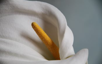 Wallpaper: Calla Lily