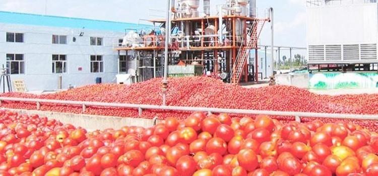 دراسة جدوى فكرة مشروع مصنع تجفيف طماطم فى مصر 2019