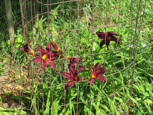 maroon day lily variety 'revolution'
