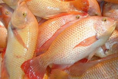 Masak Lemak Cili Padi Ikan Talapia Merah