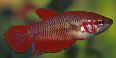 Ikan Cupang Siap Kawin