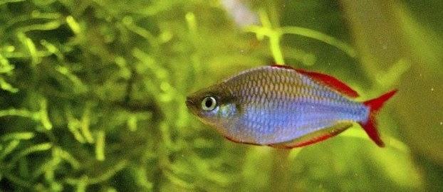 Jenis Ikan Hias Air Tawar Rainbow serta Harganya pada Pasaran