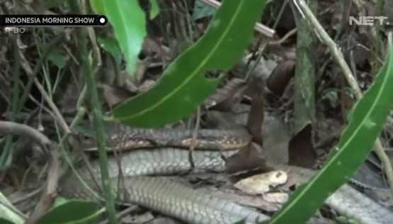 Ular King Cobra Bertapa Selama 4 Tahun di Kapuas