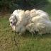 Cão Que Viveu Seis Anos Em Celeiro Perde Quase 16 Kg de Pelos Após Tosa
