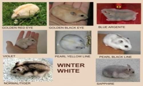 https://miefbird.blogspot.com/2018/03/mengenal-jenis-hamster-paling-populer.htm