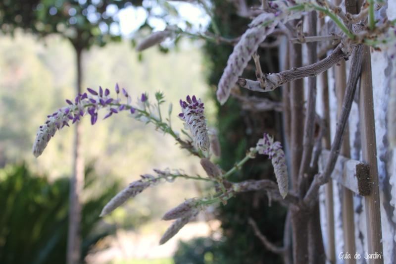 Glicinia, Wisteria sinensis