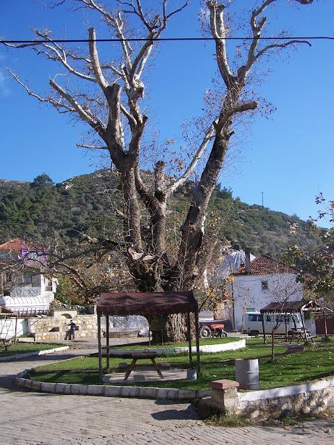 600 yıllık Anıt Çınar