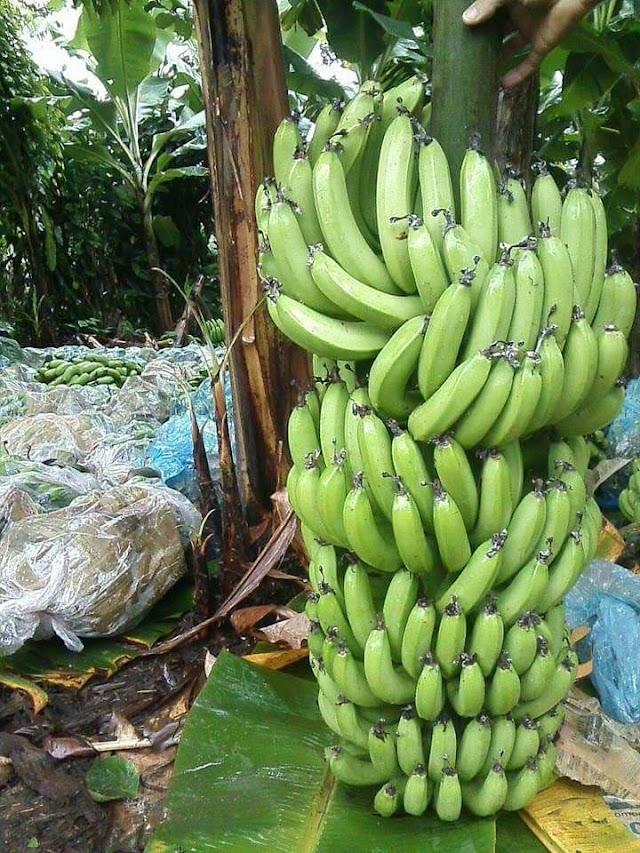 Doença chamada Raça 4 Tropical pode causar a Extinção da Plantação de Banana no Brasil