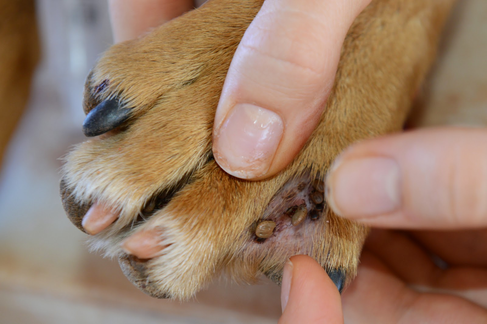 Ticks Between Toes These Can Be Tricky For Dogs To Remove Themselves