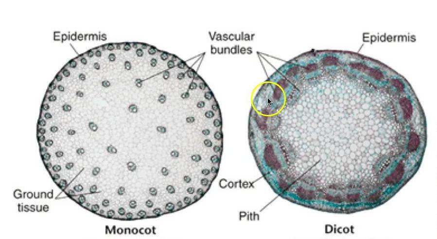 Struktur Jaringan Akar Dikotil Dan Monokotil Berbagai Struktur