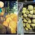 Lelaki Ini Dedah Muslihat Penjual Durian Yang Ramai Tidak Tahu