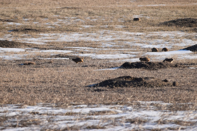 Badlands National Park, South Dakota, prairie dogs