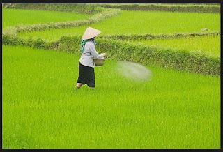 pemupukan padi