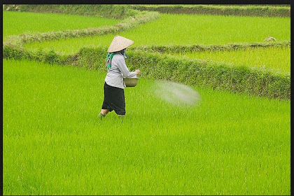 Waktu dan cara pemupukan padi yang tepat dengan dosis sesuai