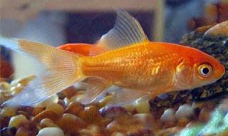 budidaya ikan komet di aquarium,makalah budidaya ikan komet,budidaya ikan komet di kolam terpal,budidaya ikan komet di kolam,klasifikasi dan morfologi ikan komet,