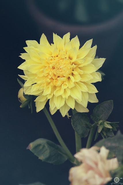 Sweet Fragrance, flower photograph, flower image, spring flower, shashank mittal, shashank mittal photography,