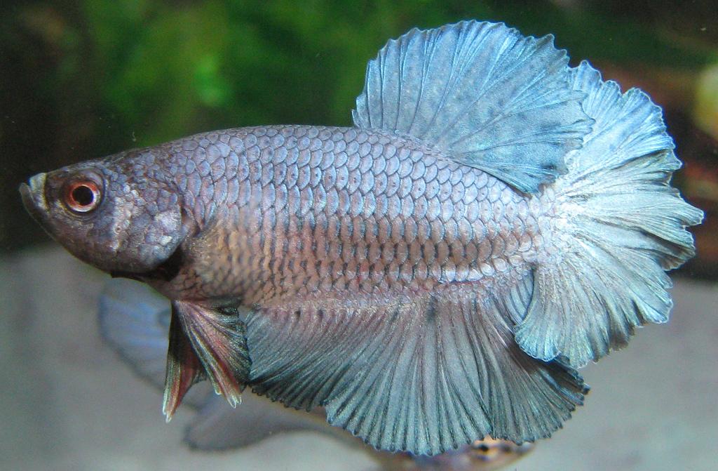 Betta fish awareness day betta fish care betta splendens for Betta fish life expectancy