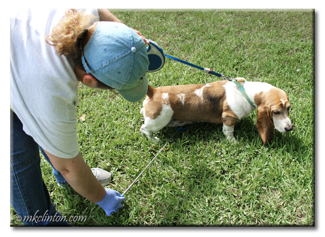 Collecting urine from Bentley Basset Hound