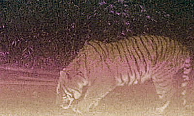 Royal Bengal tiger was snapped by a camera trap in Neora Valley National Park