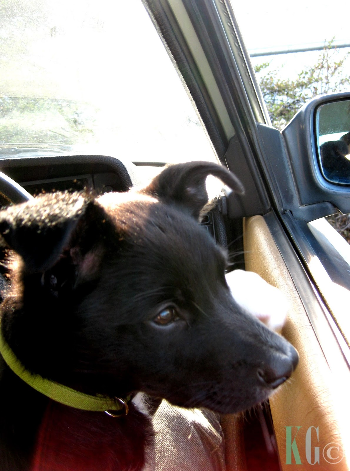 cute kelpie x smithfield puppy sitting in car