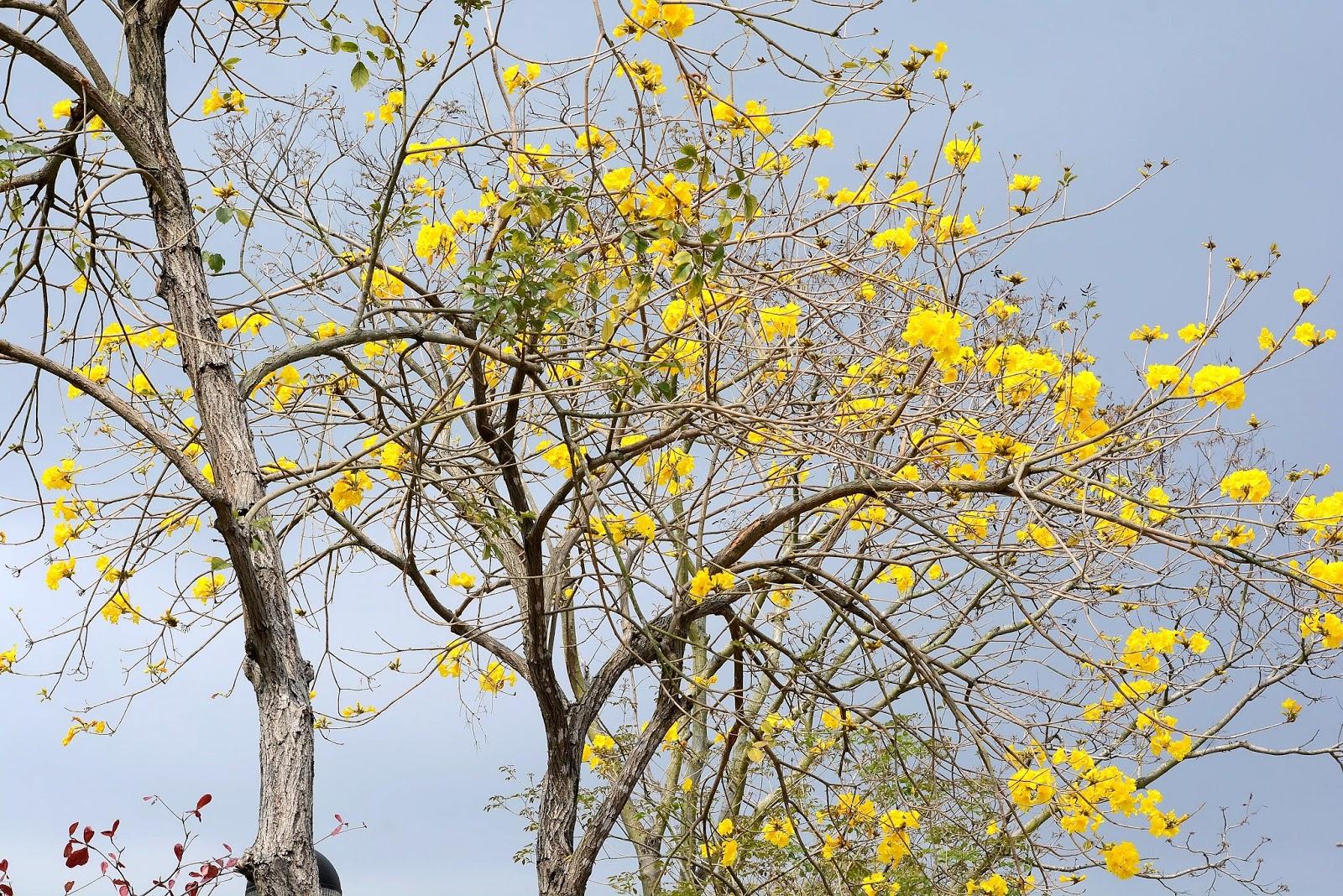 外國月亮: 黃花風鈴木