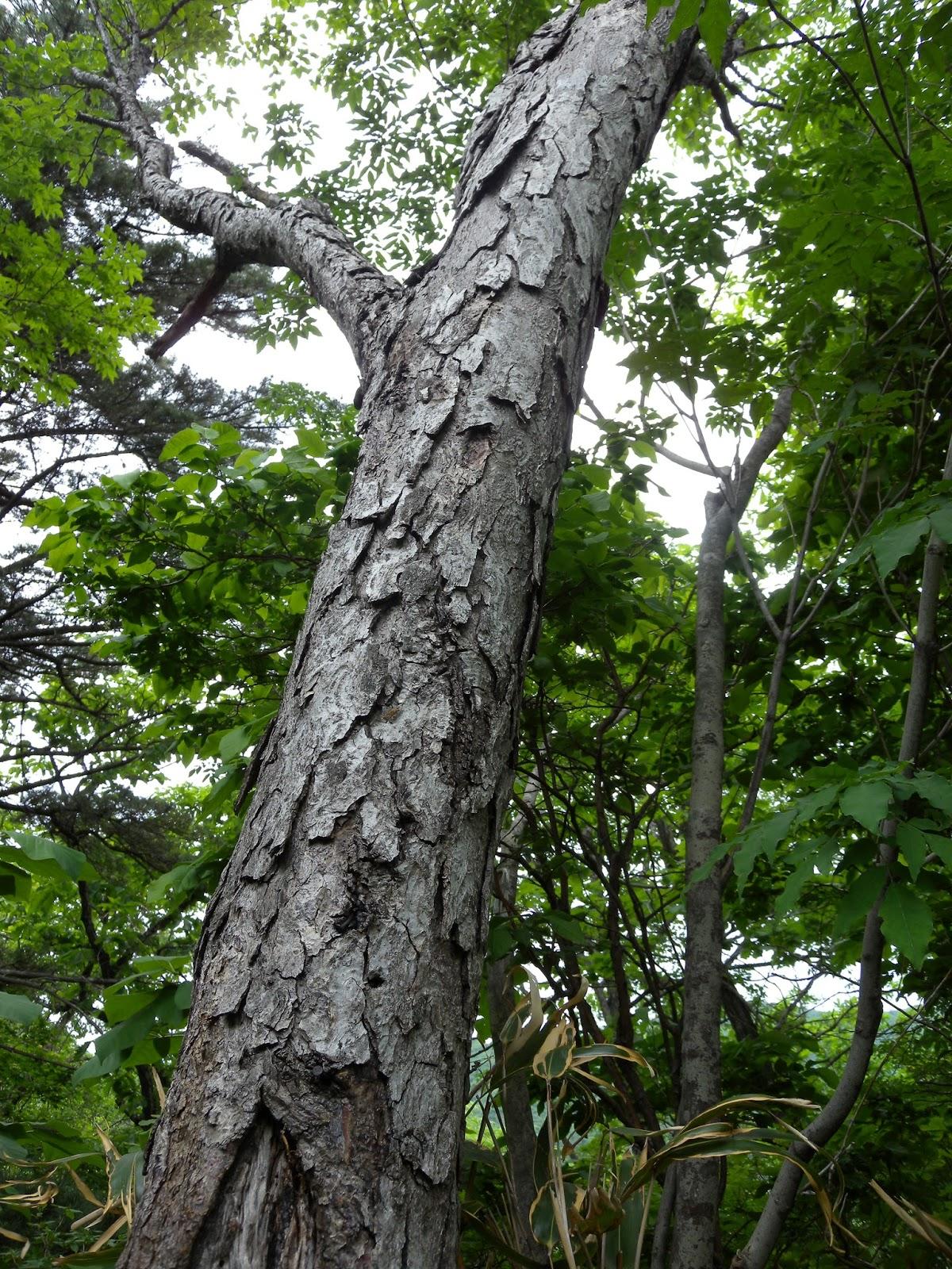 самое твердое дерево в россии
