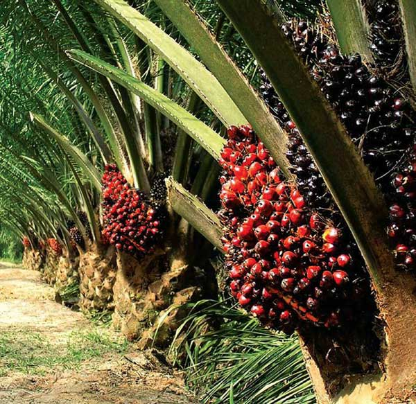Bursa Dummy: Oil Palm Rising Star: MKH