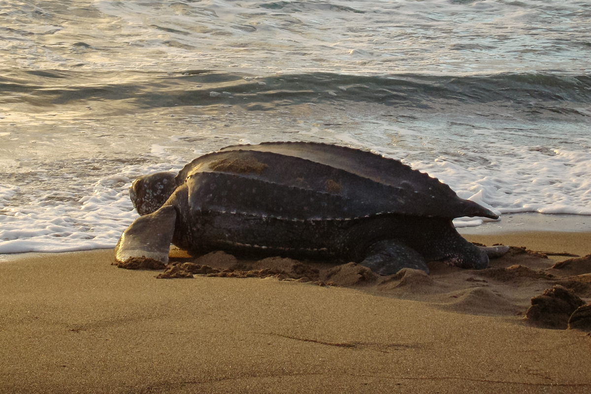 Amazing Footage Depicts The Largest Sea Turtle In The World Emerging From The Sea And Looking Majestic